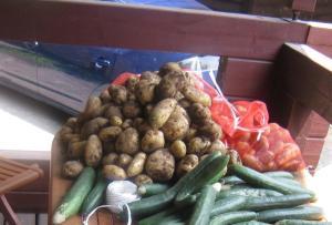 収穫したジャガイモとキュウリ