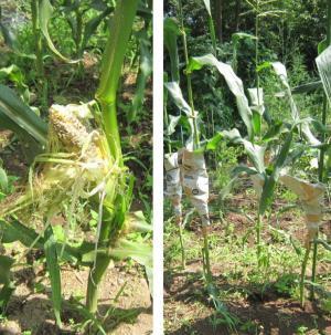 動物に齧られたトウモロコシ、新聞紙で雌穂を覆ったトウモロコシ